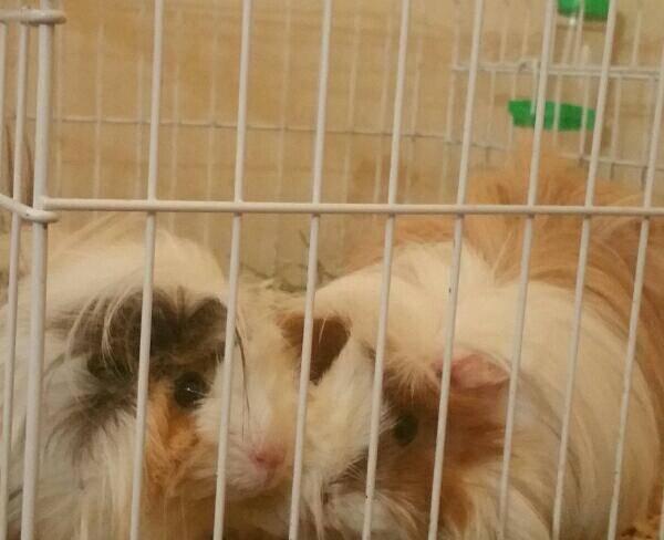 دو تا خوکچه هندی مو بلند اصیل(حتما بخوانید)