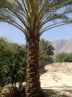 فروش درخت خرما