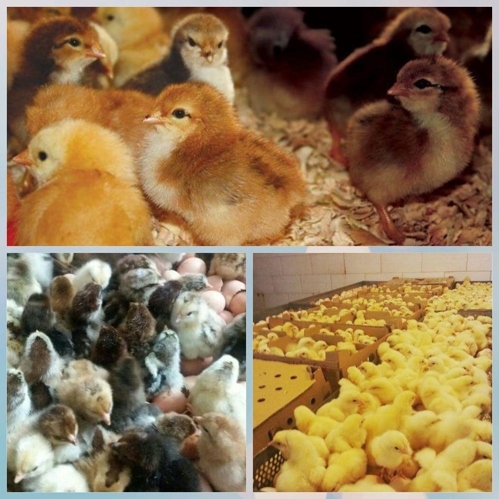 فروش و اجاره مرغداری و دامداری