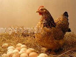 پولت مرغ تخم گذار بصورت سه ماهه یا حسن بالاتر بصورت جزءی و عمده