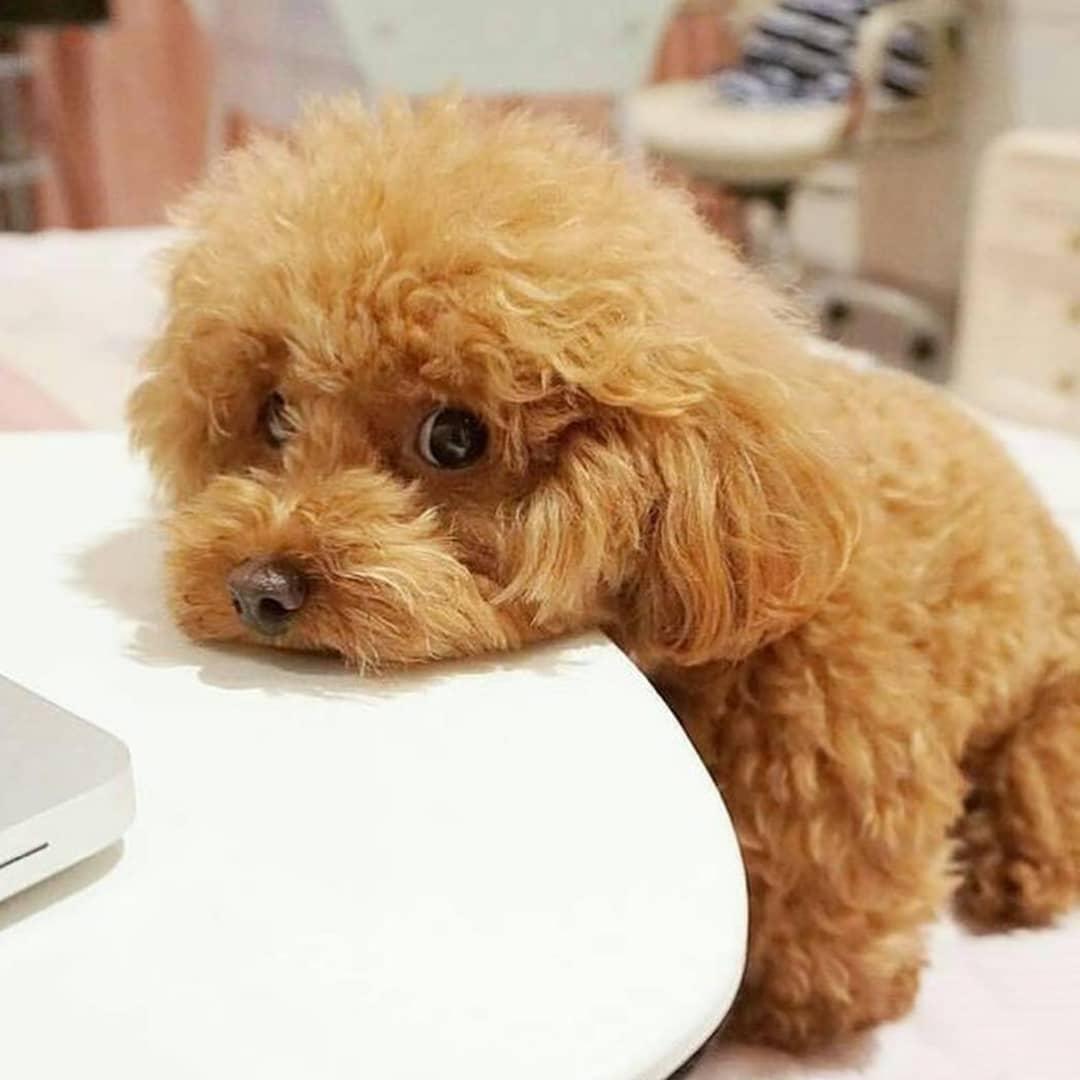 فروش سگ اصیل و دارای نژاد
