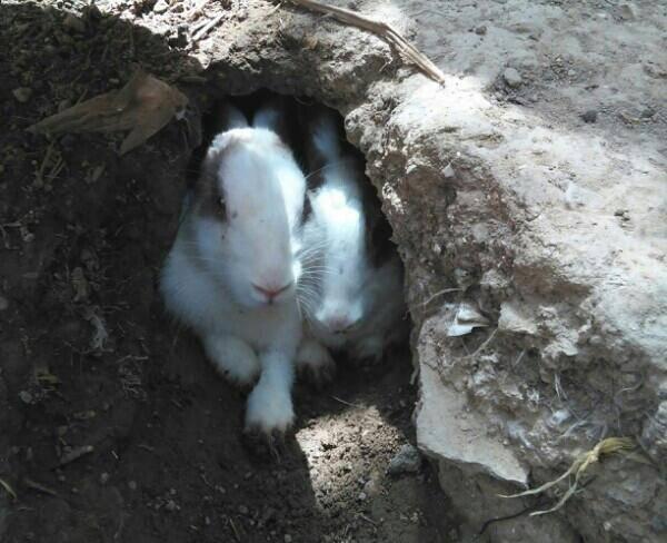 تعدادی خرگوش مولد کارداده (فروش یا تعویض)