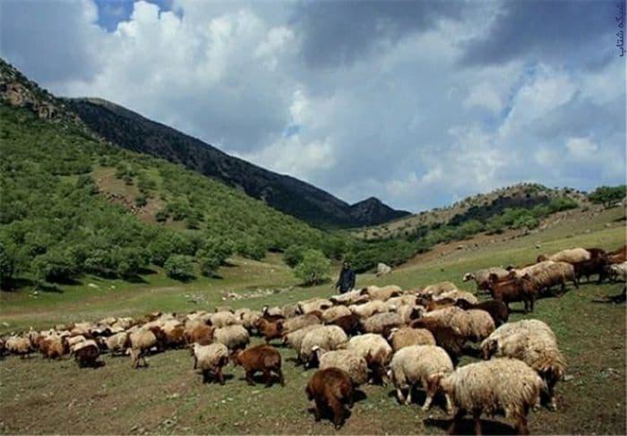 :: فروش گوشت ارگانیک گوسفند ( زنده و بسته بندی)